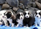 Cuccioli di Border collie disponibili